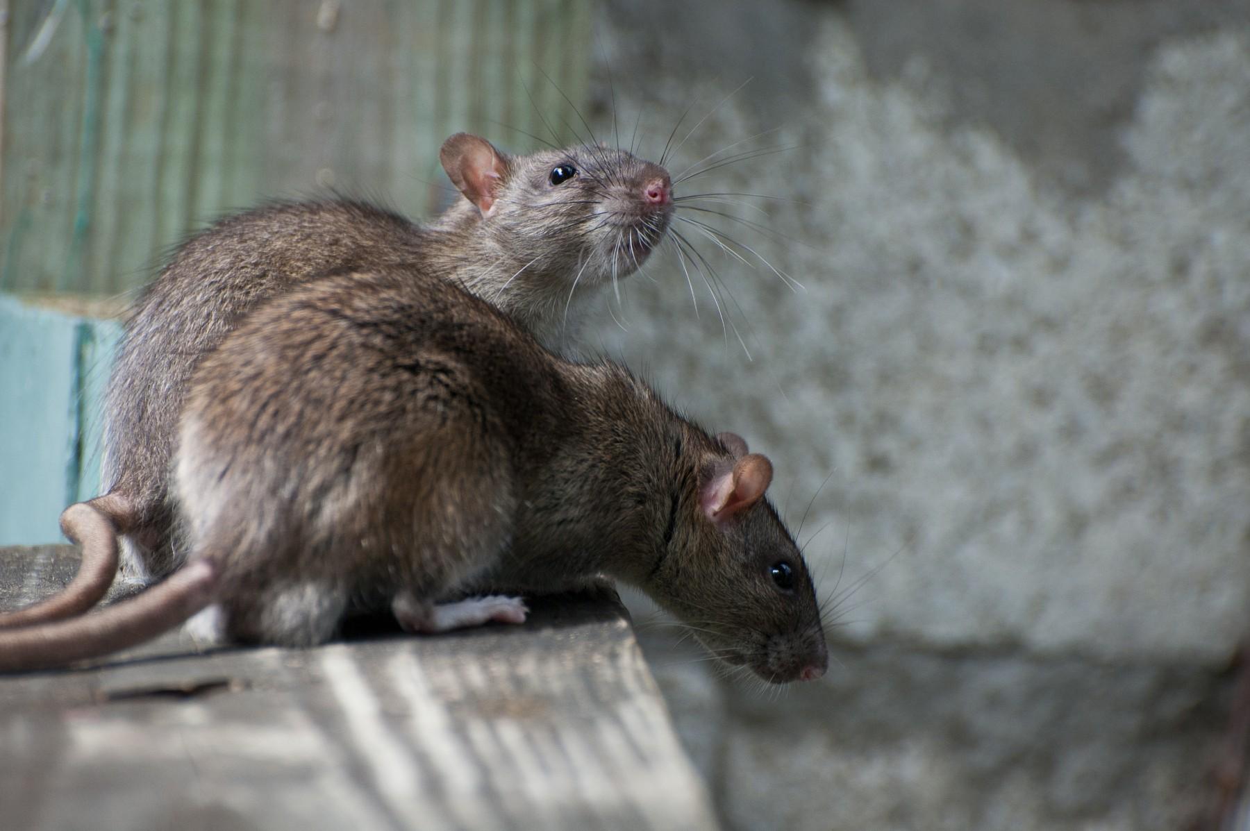 疫廈爆鼠患 衞生大災難